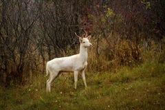Wit het mannetjesalbinisme van de hertenalbino bij dierenreebok Stock Fotografie