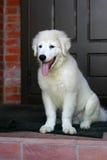 Wit het puppyPortret van de Herdershond met tong die uit hangen stock afbeelding