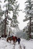 Wit hout, paarden en mens. Stock Foto