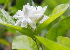 Wit Jasmine Flower Stock Fotografie