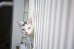 Wit kat het gluren hoofd uit het witte dek Stock Fotografie