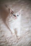 Wit katje Maine Coon Royalty-vrije Stock Afbeeldingen