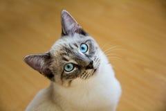 Wit katje met blauwe ogen Stock Foto