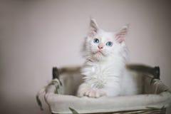 Wit katje met blauwe ogen die in een rieten mand zitten Stock Foto