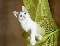 Wit katje met grijze vlekken die zorgvuldig slingeren Stock Foto's