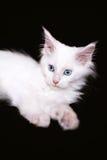 Wit katje op een zwarte achtergrond Royalty-vrije Stock Afbeelding