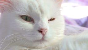 Wit katten dicht omhooggaand portret die op bed liggen stock video