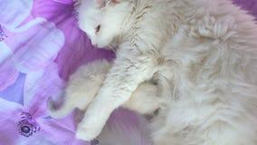 Wit katten voedend katje die op het zorg en liefdebed liggen stock video