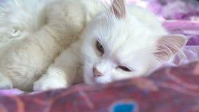 Wit katten voedend katje die op zorg en bedliefde liggen stock footage