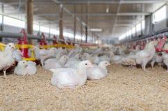 Wit kippenlandbouwbedrijf Royalty-vrije Stock Afbeeldingen