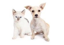 Wit Kleurenkatje en Puppy samen stock foto's