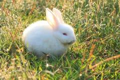 Wit konijn Stock Afbeeldingen