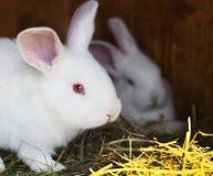 Wit konijn Royalty-vrije Stock Afbeeldingen