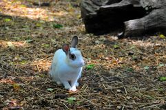 Wit Konijn - Bunny Sitting op Stro Stock Afbeelding