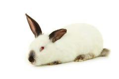 Wit konijn dat op wit wordt geïsoleerdg Stock Afbeelding