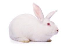 Wit konijn dat op wit wordt geïsoleerdi