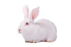 Wit konijn dat op wit wordt geïsoleerdg Stock Fotografie