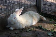 Wit konijn die in de konijnkooi bepalen royalty-vrije stock foto