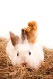 Wit Konijn en Kuiken stock afbeelding