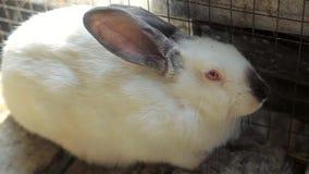 Wit konijn, groot wit konijn, konijn stock videobeelden