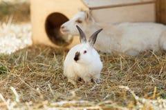 Wit Konijn in het droge gras op het landbouwbedrijf Royalty-vrije Stock Fotografie