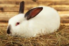 Wit konijn in hooi op een bruine achtergrond Royalty-vrije Stock Foto