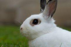 Wit konijn met onscherpe achtergrond Stock Afbeelding