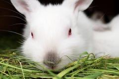 Wit konijn met rode ogen Stock Foto