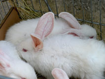 Wit konijn met rode ogen Royalty-vrije Stock Foto