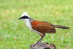 Wit-kuif laughingthrush Stock Afbeelding