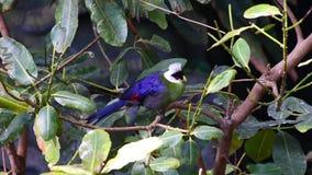 Wit-kuifleucolophus van turacotauraco strijkt op een regenwoudboom neer in West-Afrika stock footage