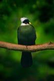 Wit-kuifturaco, Turaco-leucolophus, zeldzame gekleurde groene vogel met wit hoofd, in aardhabitat Turacozitting op branc Stock Foto