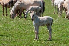 Wit leuk veulen De paarden met veulennen weiden op groen weiland Basjkirië stock afbeeldingen