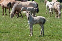Wit leuk veulen De paarden met veulennen weiden op groen weiland Basjkirië royalty-vrije stock foto