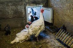 Wit levend Turkije met kip in de schuur in het dorp royalty-vrije stock afbeeldingen