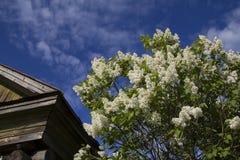 Wit lilac Bush dichtbij het huis Stock Afbeeldingen