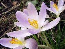 Wit-lilac krokussen in de tuin stock afbeeldingen