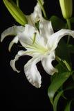 Wit lilly Royalty-vrije Stock Afbeeldingen