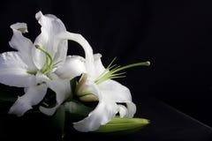 Wit lilly op zwarte Royalty-vrije Stock Afbeelding