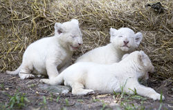 Wit Lion Cubs Stock Foto