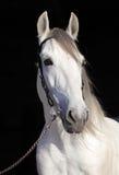 Wit Lipizzaner-paard met teugel Stock Foto