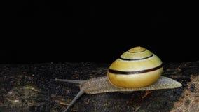 Wit-lipped slak bij nachttijdspanne stock video