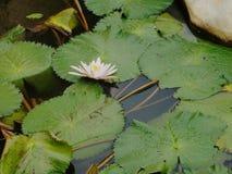 Wit Lotus Stock Foto's