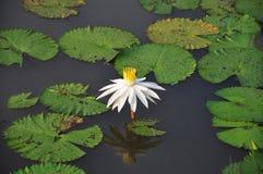Wit Lotus royalty-vrije stock foto's