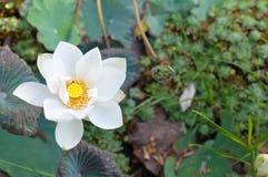 Wit Lotus Royalty-vrije Stock Fotografie