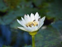Wit Lotus Stock Afbeelding