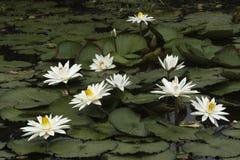 Wit Lotus Royalty-vrije Stock Afbeeldingen