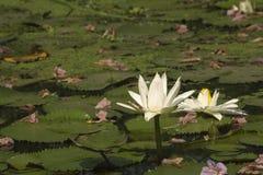 Wit Lotus Royalty-vrije Stock Afbeelding