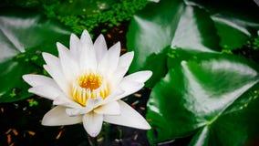 Wit Lotus, Geel Stuifmeel Royalty-vrije Stock Afbeeldingen