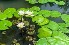 Wit Lotus met Groene Bladerenachtergrond in het Meer Royalty-vrije Stock Fotografie